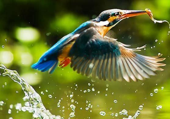 Image136-Kingfisher